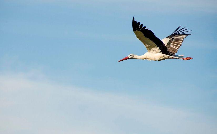 Las cigüeñas, ya no tempraneras, sobrevuelan majestuosas el cielo deSalamanca