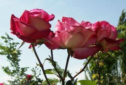 Tres meses sin mi vida y tu memoria que florece cual rosal enprimavera