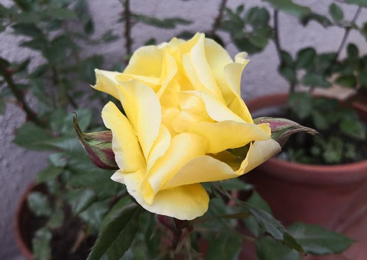 La primera rosa del año es amarilla y llena de luz la terraza y mihabitación